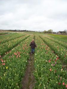 tulpen pflücken im feld